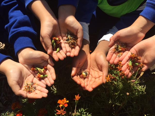 childrens hands holding flower seeds