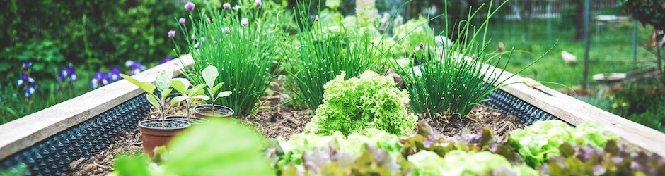 Vegetables growing in a raised garden bed